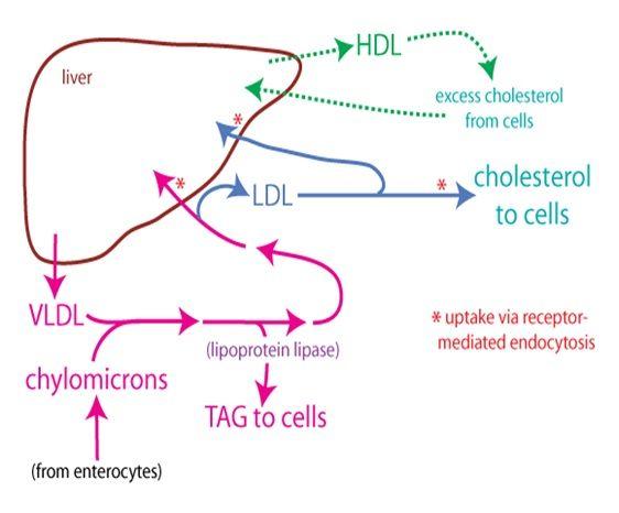diagram] long fat protein carb diagram full version hd quality carb  fat protein carb u0026 39 s cholesterol u2013 most misunderstood lipid