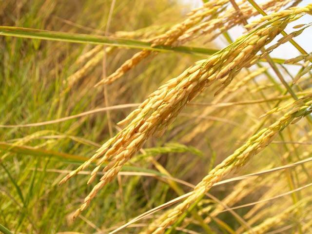 Rice from Nueva Ecija