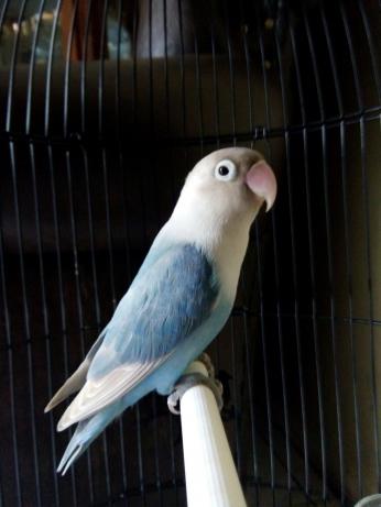 jenis jenis burung lovebird   pecinta burung berkiacau