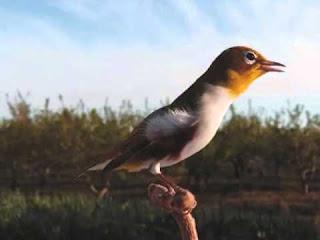 6 Tips Memilih Burung Pleci jantan mental Petarung Fighter