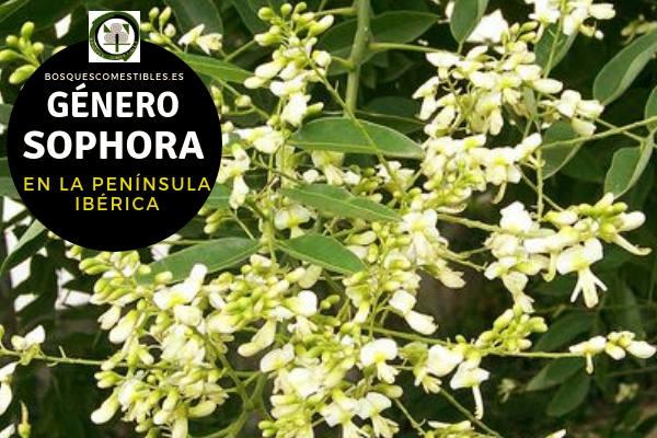 Lista de especies del Género Sophora, Familia Fabáceae en la Península Ibérica.