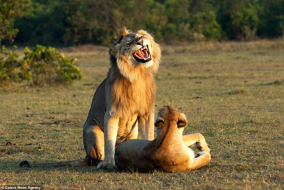 Funny Pictures Of Lion Looking Proud And Passionate As He Mates With A Lioness