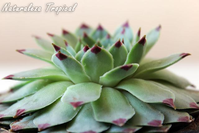 Vista lateral de la planta Uña de Mujer o Siempreviva, Sempervivum calcareum