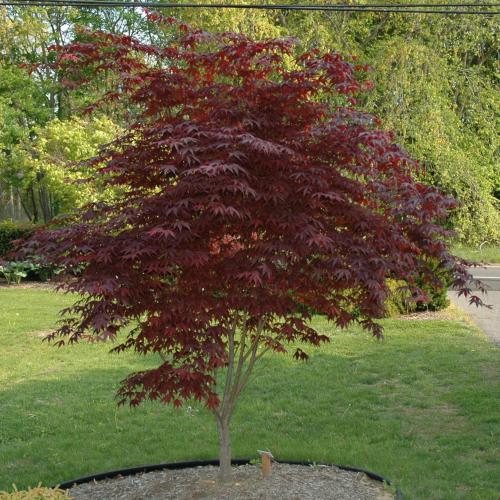 Amyluvstrees Foliage Friday Japanese Maple