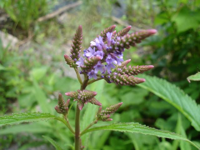 Wild Here Ottawa Vervain Wildflower Nutlets