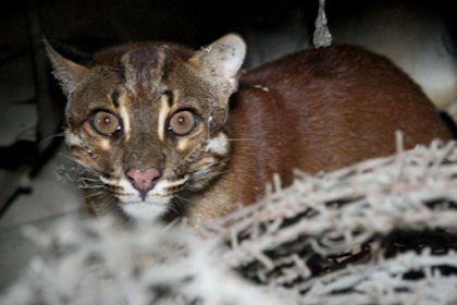 Yuk Mari Mengenal Kucing Emas, Hewan yang Langka dari Keluarga Harimau