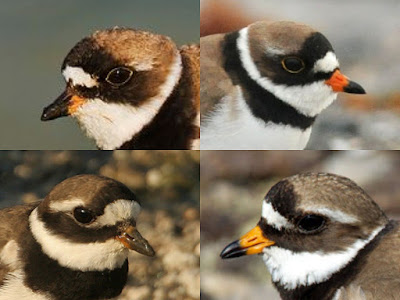 Comparison of Common Ringed and Semipalmated Plovers