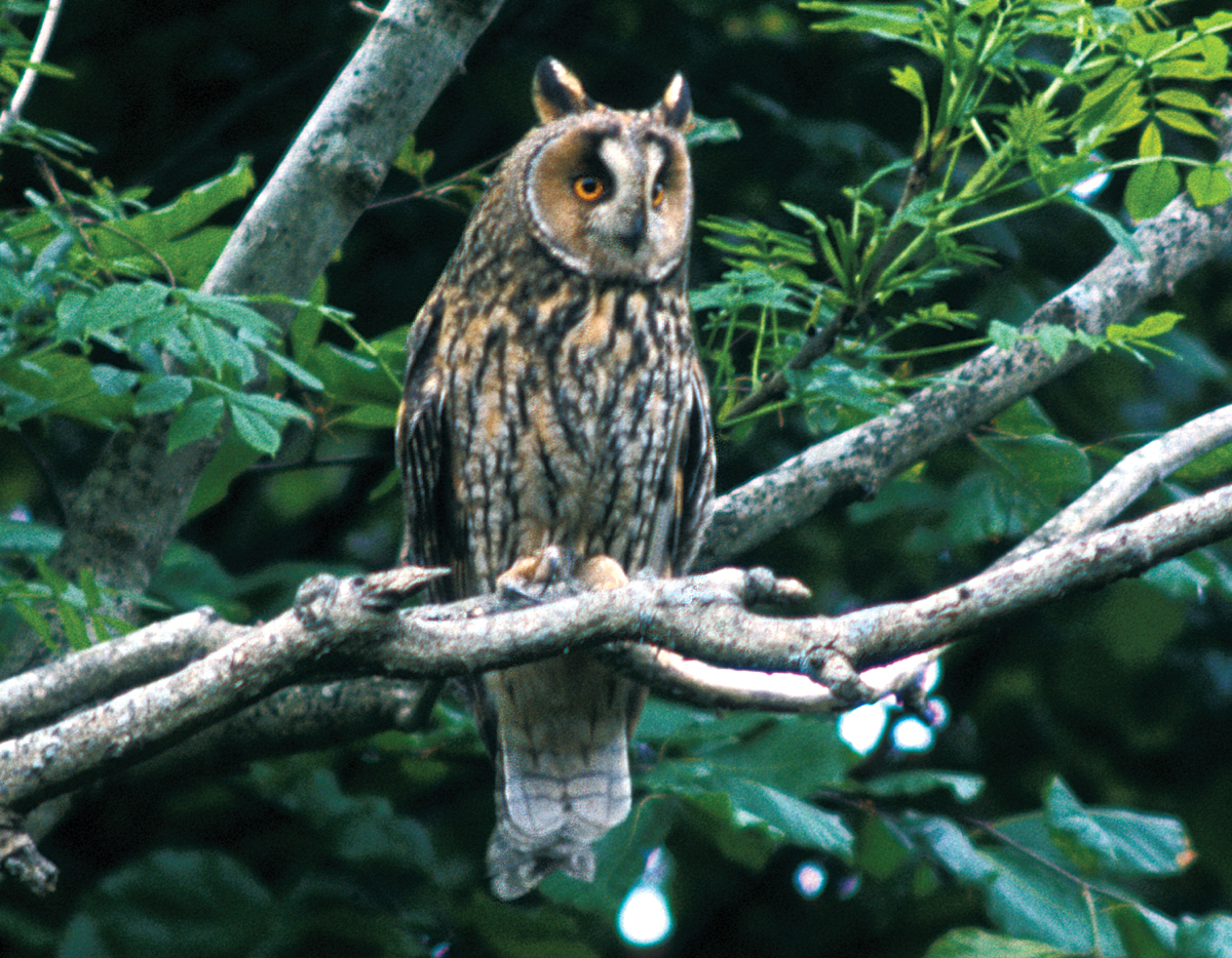 duhallow raptor conservation project long eared owl