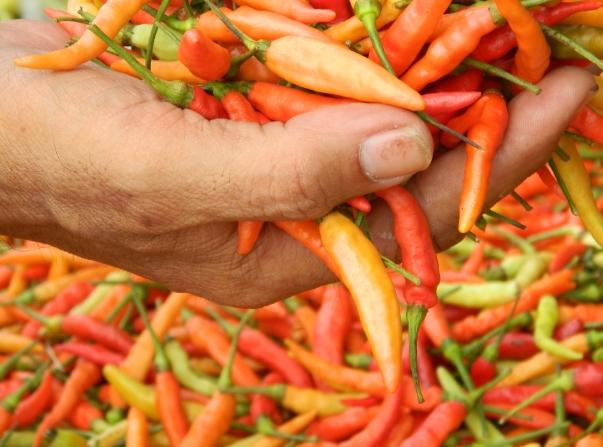 Peluang Usaha dan Cara Budidaya Cabai Rawit/Merah/Keriting yang Menguntungkan