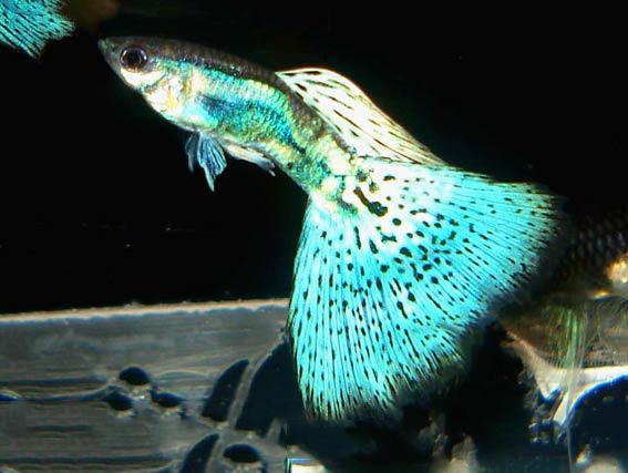Guppy fish guppies guppy fish bluegrass purplegrass for Guppy fish for sale
