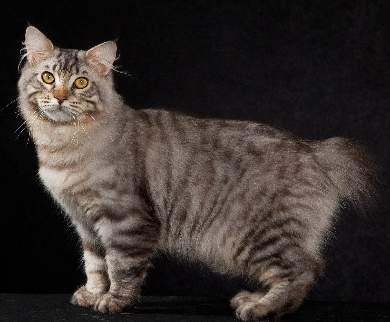 Top 5 Biggest Domestic Cats  Cats Around The Globe
