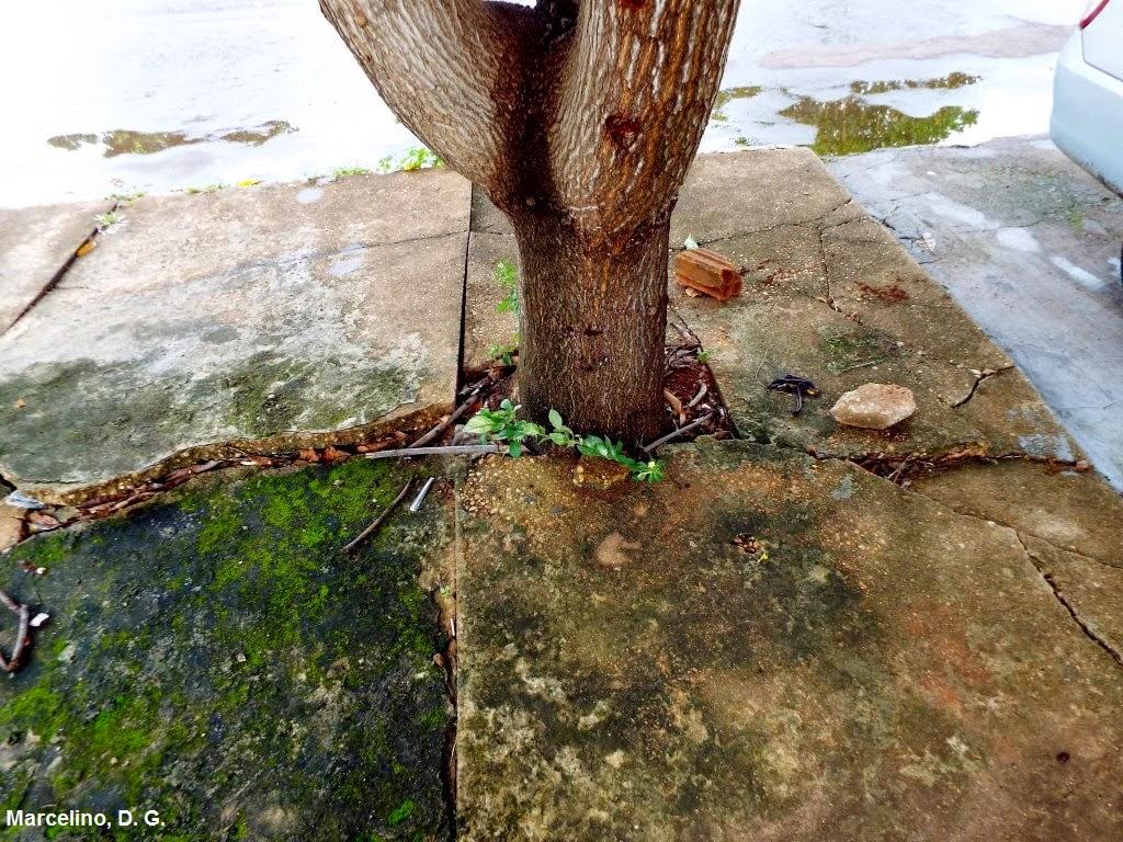 Plano de arborização urbana, arborização urbana, como plantar uma árvore, plantando árvore na cidade, Palmas, plano de arborização de Palmas, plantio de árvore na calçada, natureza, plantio de árvores na cidade