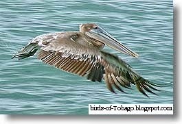 Brown Pelican (Pelecanus occidentalis) Birds of Tobago