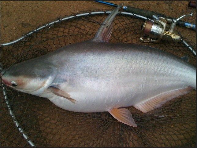 Umpan Mancing Ikan Patin Babon