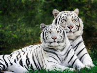 Resultado de imagen de rayas de lo s tigres