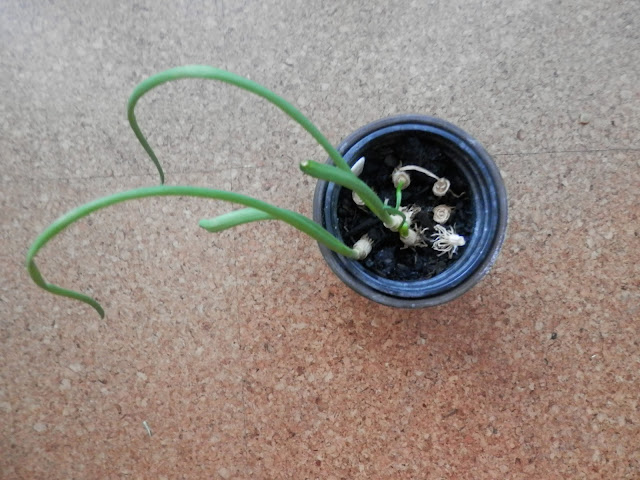 Make one small change, regrow spring onion scraps.  By UK Eco friendly and garden blogger secondhandsusie.blogspot.com #gardenblogger #ecoblogger #springonions #scallions #regrow