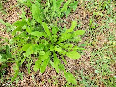 Ραδίκι κιχώριο-Cichorium intybus L.