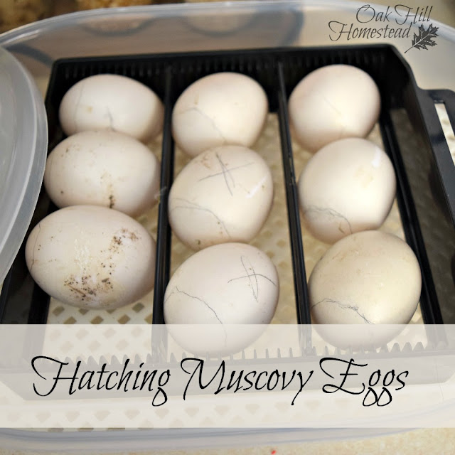 Hatching Muscovy Eggs - Oak Hill Homestead