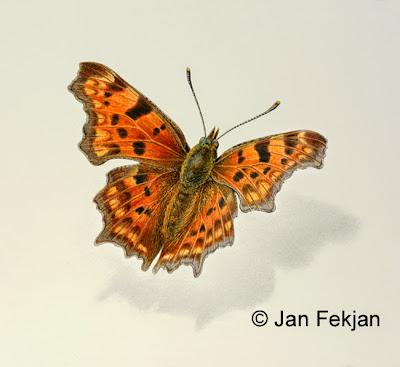 Bilde av digigrafiet 'Hvit C'. Digitalt trykk laget på bakgrunn av maleri av sommerfugl. Hovedmotivet er en oransje sommerfugl med mørke flekker, som sitter på en nøytral hvit bakgrunn. Bildet er nærmest kvadratisk.