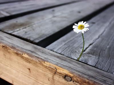 fleur-pousse-entre-2-planche-resilience