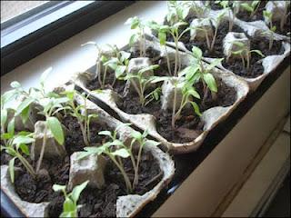 How to grow seedlings HOME