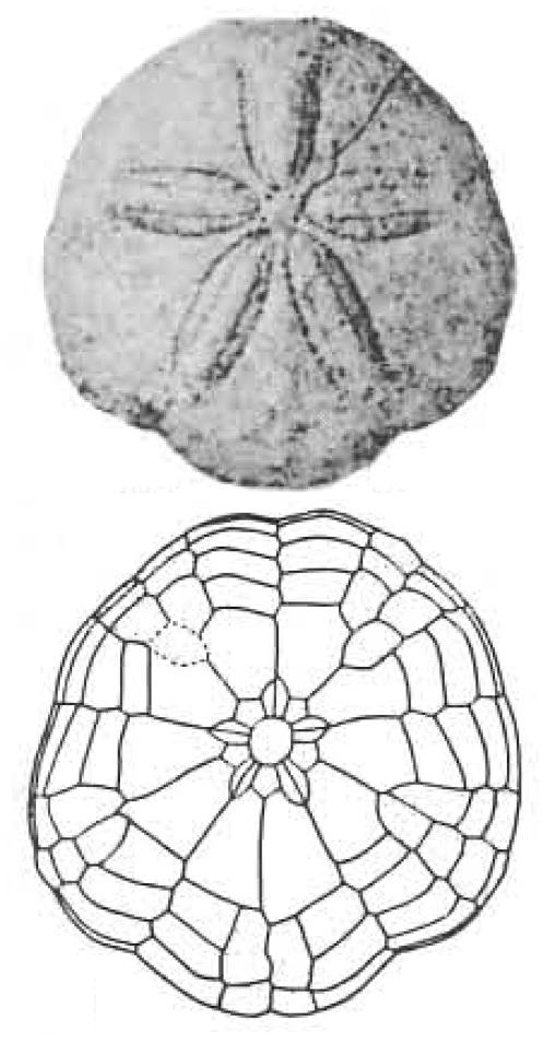Variety Of Life Echinarachniidae