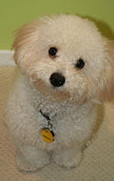Cute Bolognese dog