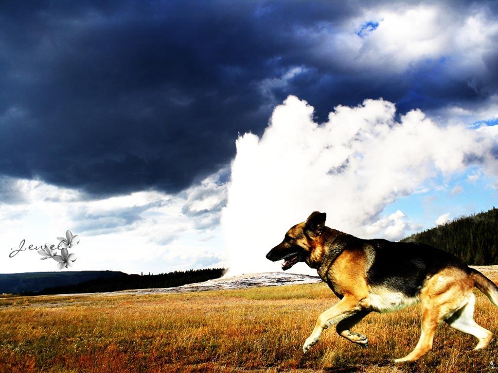 German Shepherd HD Wallpapers, German Shepherd Dogs