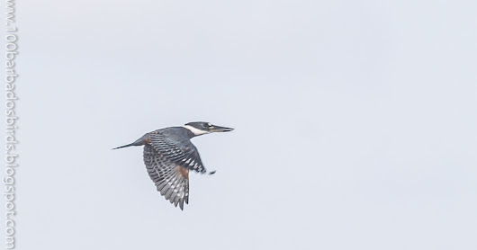 A New Avian Species Record for Barbados – Ringed Kingfisher (Megaceryle torquata)