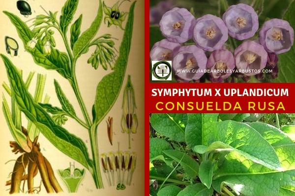 La Symphytum x Uplandicum, Consuelda Rusa Familia Boraginaceae