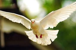 Sistem Pernapasan (Aves) Burung