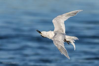 The Roll of the Sandwich Tern - Woodbridge Island