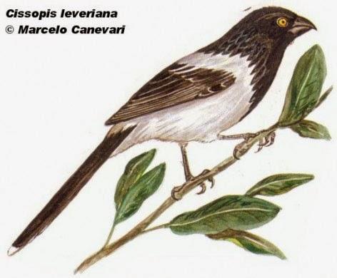 Frutero overo, Cissopis leverianus
