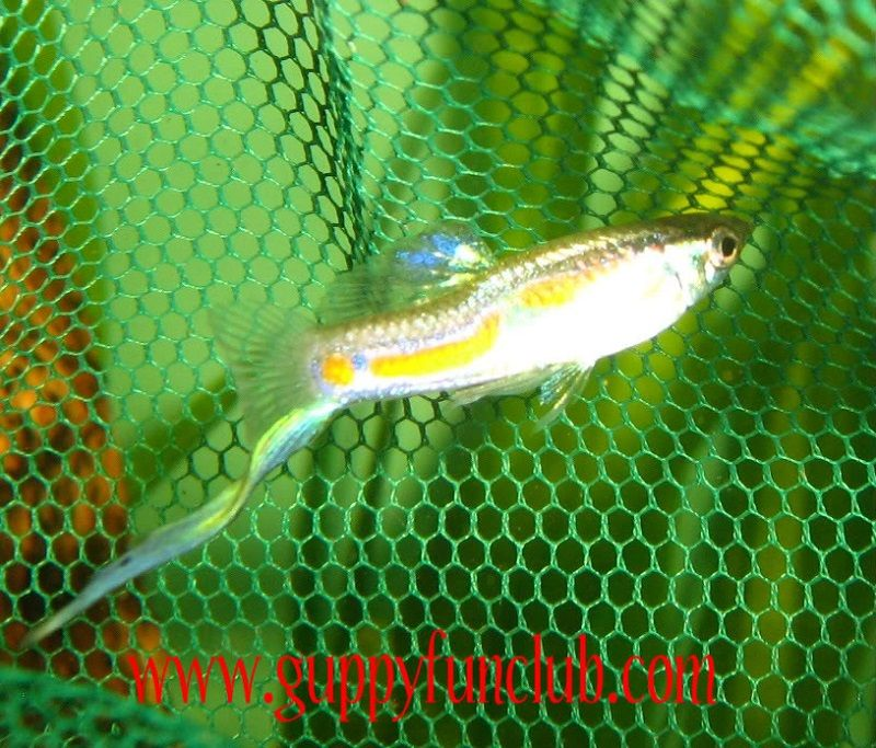 Gambar Ikan Guppy Bottom swordtail-bottom sword tail guppy