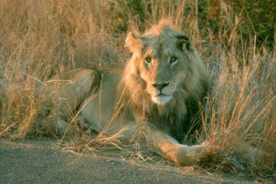 Kruger National Park, South Africa, lion