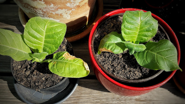 Tabak Topf anbauen