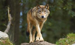 Seventeen Wolf males in Denmark: mystery clarified