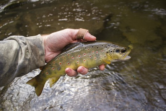 Big red spots on a Deep Creek brown trout