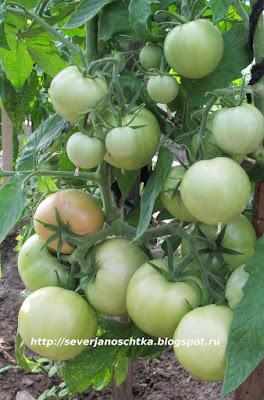 томаты малиновый звон вкусные и раннеспелые