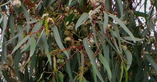 Te recomendamos Eucalipto para gripes y catarros  Flores de Venezuela