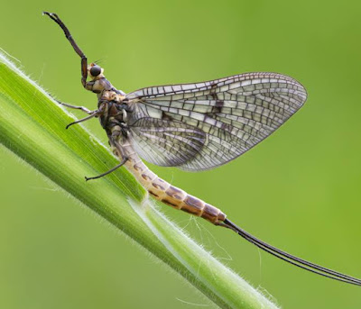 Animals That Start With M - Mayfly