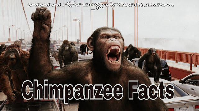 Chimpanzee Facts In Hindi-Rochak Tathya-Factslides
