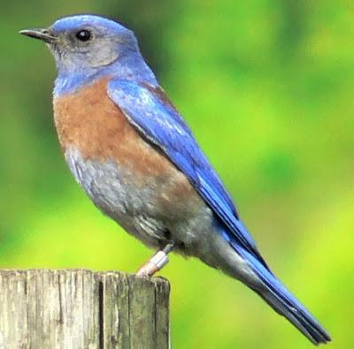 World Beautiful Birds Western Bluebirds Birds
