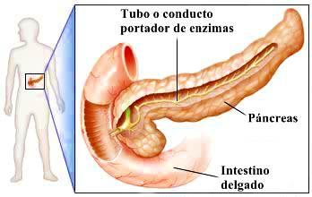 Anatomía del páncreas: partes - funciones digestivas y endocrinas