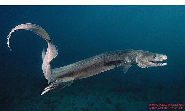 Hiu Berjumbai adalah Jenis Ikan Laut Dalam Paling Menyeramkan, Predator Dan Unik