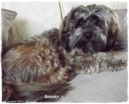 My sweet Havanese: Bounty.