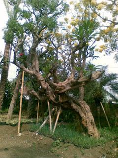 Penjual pohon kamboja hias
