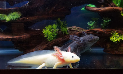 leucistic white axolotl and black melanoid axolotl