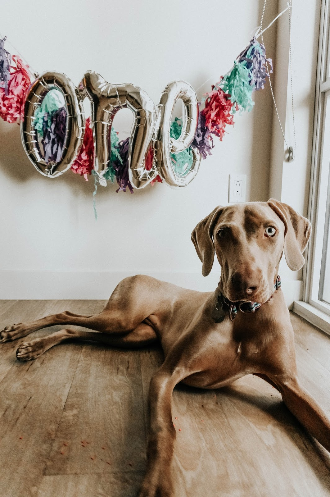 Weimaraner Dog Birthday