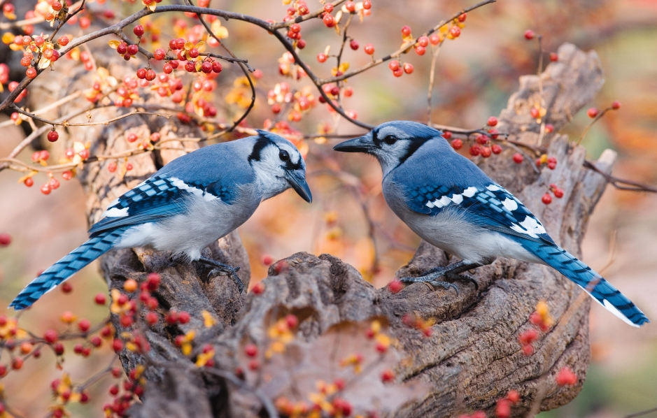 Wild Birds Unlimited The Difference Between A Male And -2366